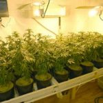 Medical Marijuana Grower in San Francisco Imprisoned