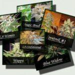 The Importance of Medical Marijuana Strains