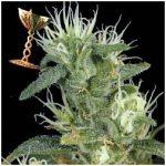 Big Bang Weed Strain
