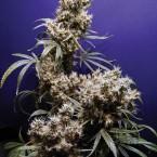 purple-kush
