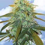 Skunk #1 Weed Strain