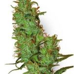 Jack Herer Weed Strain