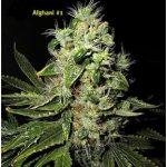 Afghani #1 Weed Strain