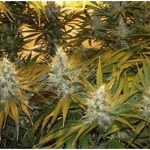 Northern Lights Weed and its Variants