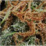 Alaskan Thunderfuck Marijuana Seeds