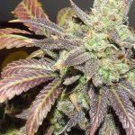 Blue Cheese Marijuana Seeds