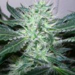 Ice Marijuana Seeds