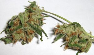 lsd-medical-marijuana