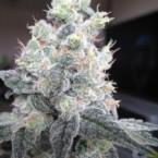 white-rhino-marijuana3-225x3001