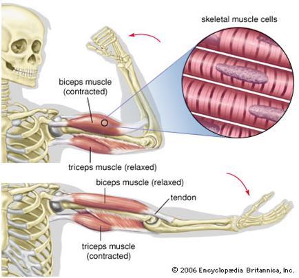 medical marijuana and spasticity - medicalmarijuanablog, Skeleton