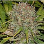 AK47 Weed Seeds