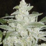 White Widow Weed Seeds