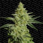 Allkush Medical Cannabis Seeds