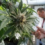 2015_s Most Notable Cannabis Studies