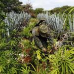 How Legalization Of Marijuana Affects Cartels