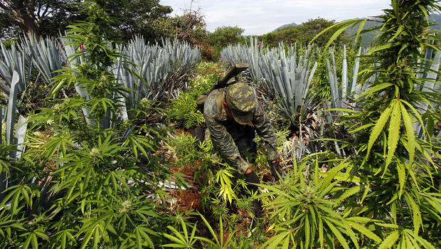 How-Legalization-Of-Marijuana-Influences-Cartels