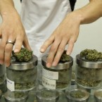 In this Friday, June 26, 2015 photo, an employee at the medical marijuana dispensary Kaya Shack displays different types of marijuana flowers sold at the shop in Portland, Ore. On July 1, recreational marijuana in Oregon is legal, but it's likely customers won't be able to buy the pot at medical dispensaries until October 1. (AP Photo/Gosia Wozniacka)