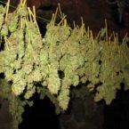 Medical marijuana a supplement for porphyria