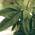 Marijuana and Ulcerative Colitis