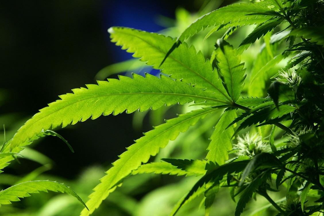 Agoraphobia Panic Attacks and Cannabis