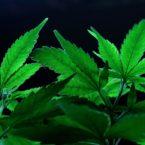 Medical Marijuana and Cocaine Dependency