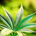 Thyroiditis and Medical Marijuana