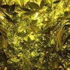 conjunctivitis-and-medical-marijuana