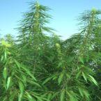 cannabis-sativa