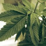 Raynaud's Disease and Medical Marijuana