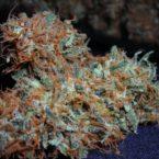 white-widow-cannabis-strain