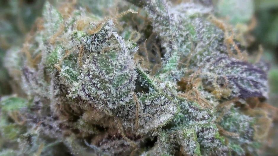 purple-kush-marijuana-strain