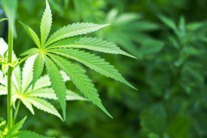 marijuana Osteoarthritis