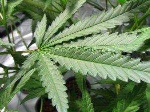 worrier weed
