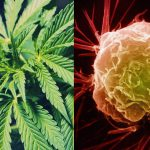 How Marijuana Destroys Cancer Cells While Leaving Healthy Cells Alone