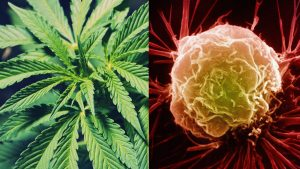marijuana cancer cells