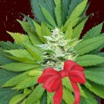 7 Benefits of Medical Marijuana During the Holiday Season
