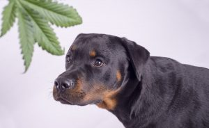 CBD for dogs in pain