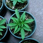 What a Marijuana Plant Needs to Grow Fast