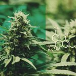 The Top 5 CBD Flower Strains To Grow